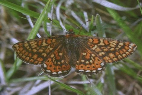 La amenazada Euphydryas aurinia se encuentra en A Xunqueira de Alba.