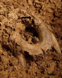 Mandíbula del oso cavernario. | J. Trueba / MSF