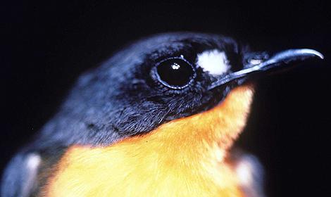 Un pájaro de la familia de los petirrojos. | AP