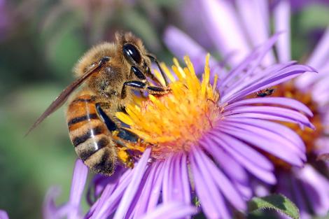 Ejemplar de abeja melífera