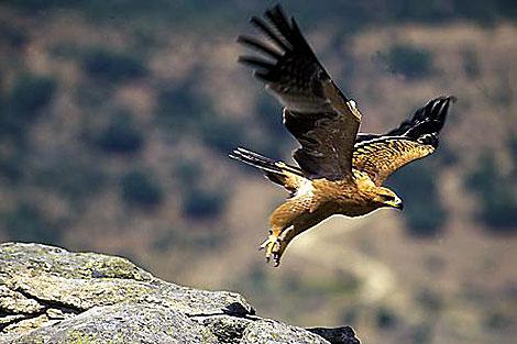 Un águila imperial ibérica en pleno vuelo.