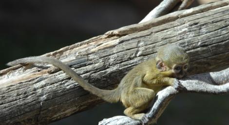 La cría de talapoín norteño. | ELMUNDO.es