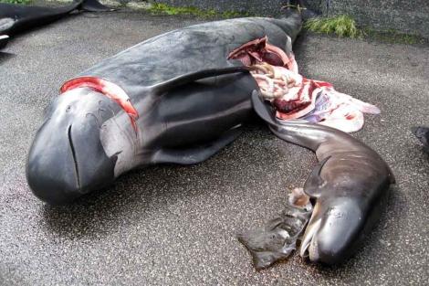 Ballena hembra y feto muertos en las Islas Feroe. | Peter Hammarstedt