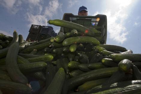 Un agricultor tira la producción de pepinos en El Ejido.   F. Bonilla
