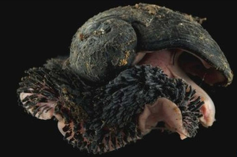 Caracol abisal encontrado por la expedición. | David Shale