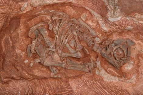 Embrión de dinosaurio hallado en uno de los nidos.| D. Scott