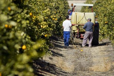 Un grupo de jornaleros recoge la naranja en un campo de cítricos onubense.   J. Yáñez