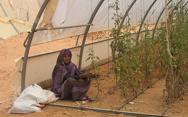 Una mujer saharaui trabaja en el único huerto de Dajla. | R. Q.