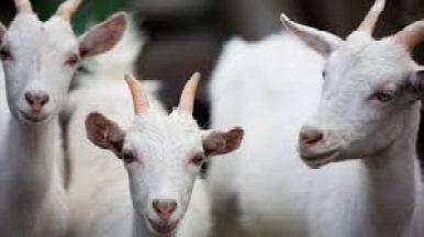 cabrass