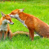 Costa e Marcelo, duas raposas (com picos de ouriço)