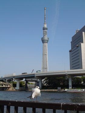 スカイツリーと隅田川のカモメ