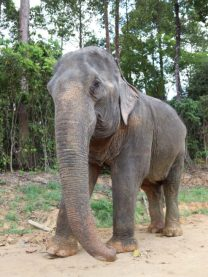 Krabi-sancturaire-elephant