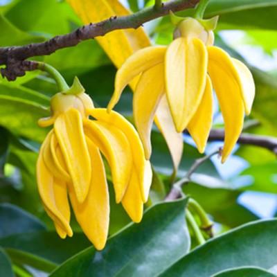 Fiori Ylang Ylang.Olio Essenziale Di Ylang Ylang Primavera Flora L Estetista Expat