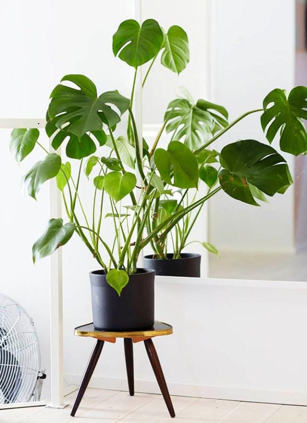 planta-costilla-de-adan-02