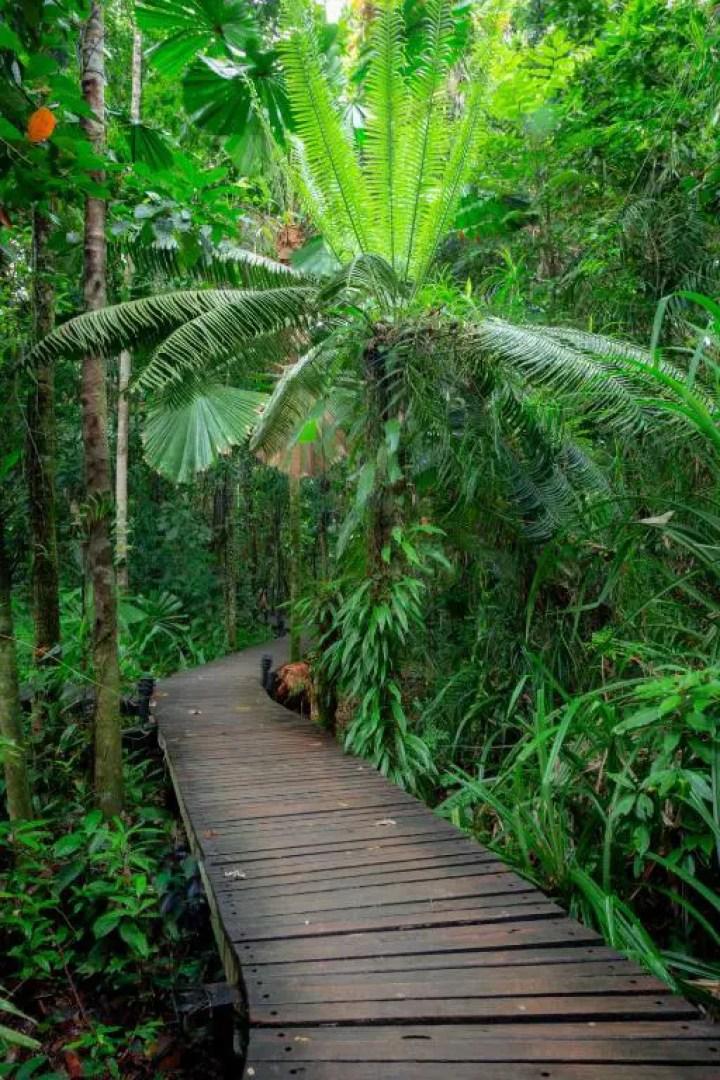 Wooden Boardwalk Daintree Rain Forest in Australia (3)
