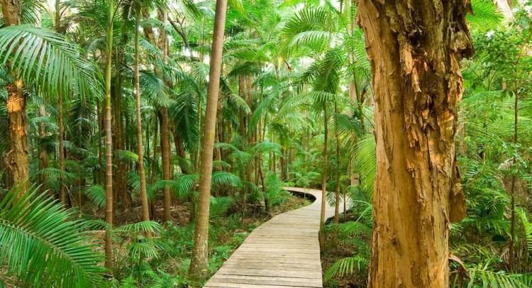 Wooden Boardwalk Daintree Rain Forest in Australia