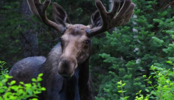 moose-580x333