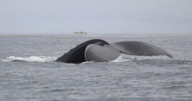 Avistamiento de Ballenas en Pedasí.