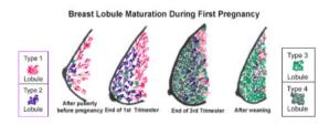 relação entre o câncer de mama e aborto - estudos cientificos