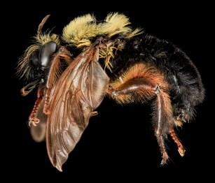 bee-mimic fly