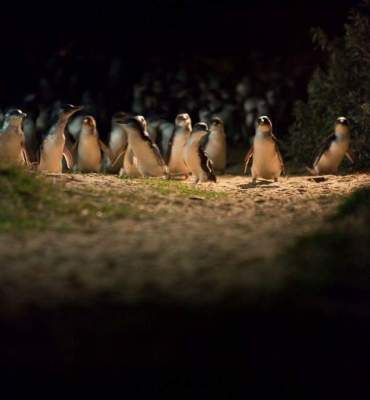 Photo Credit: Phillip Island Penguin Parade. (2016). Image Gallery.