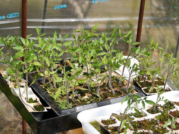 トマトのビオトープ水耕栽培