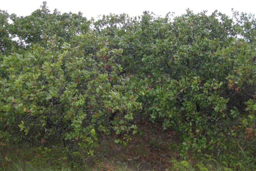 dwarf oaks ouachita mountains