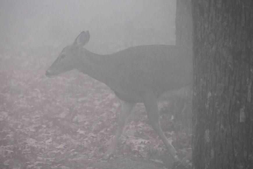 deer on skyline drive at shenandoah national park