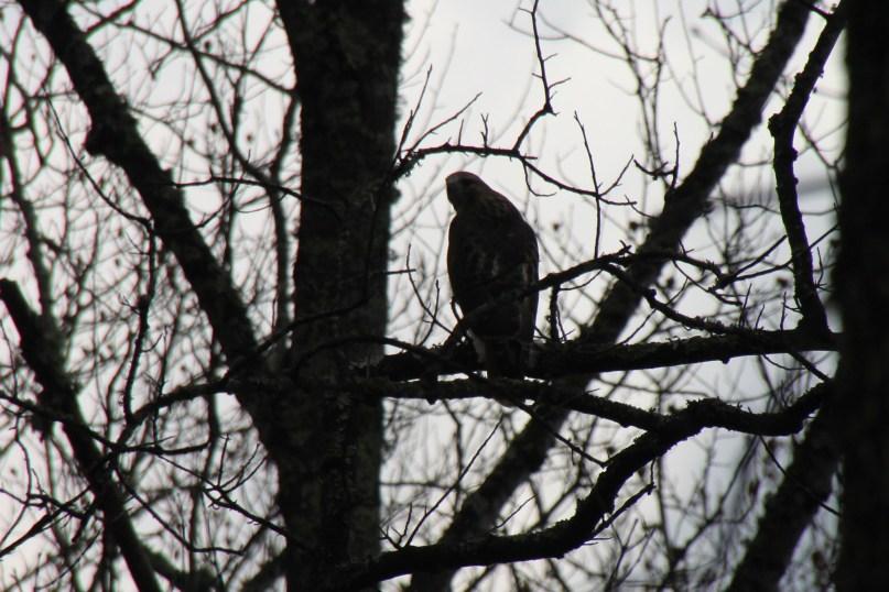 bird of prey on the blue ridge parkway in North Carolina