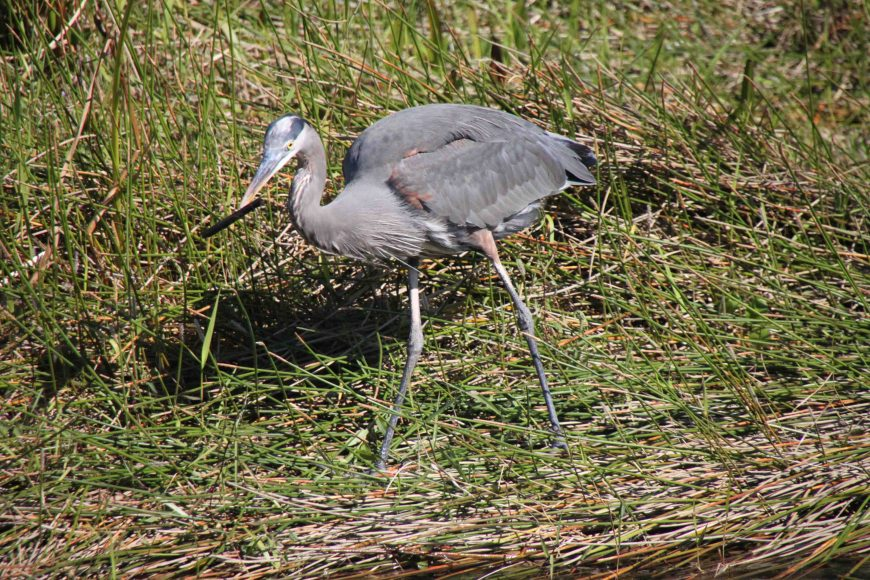 blue heron in the florida everglades national park