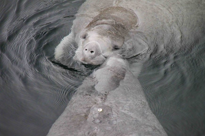manatee at edward ball wakulla springs state park in the florida panhandle