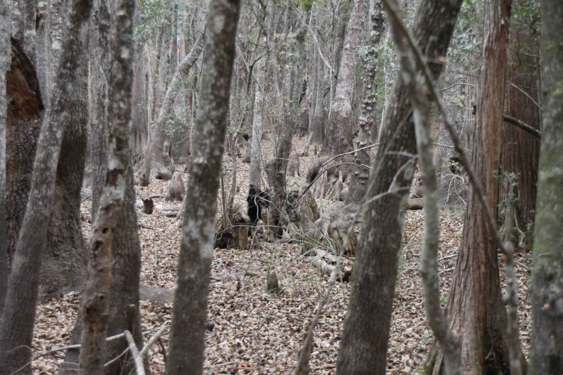apalachicola national forest in the florida panhandle