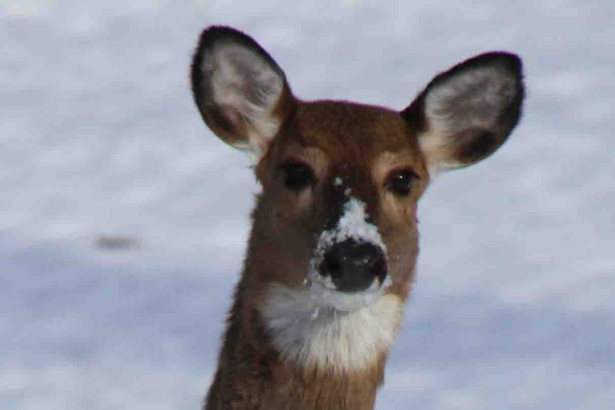 deer with snow on its nose at ammoth cave national park