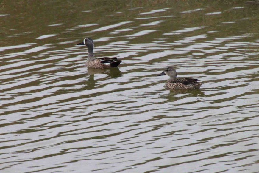 ducks at Anahuac National Wildlife Refuge in East Texas
