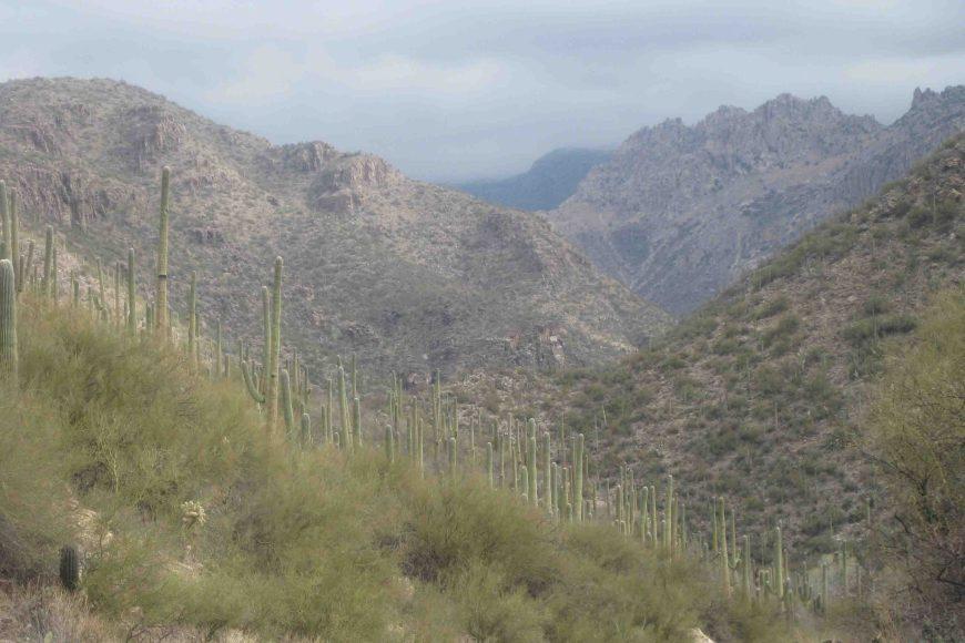 cacti in sabino canyon in tucson