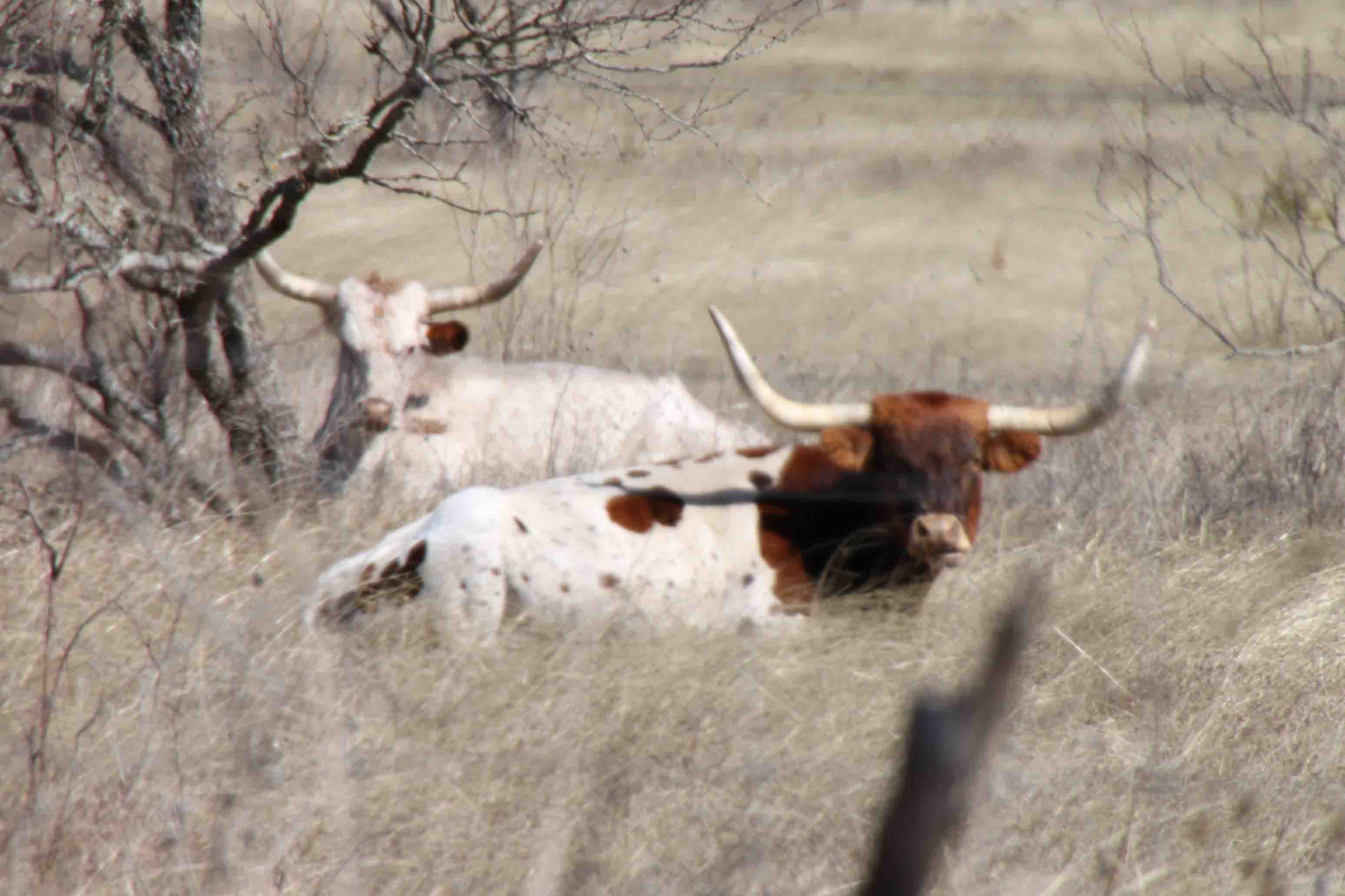 longhorns in the Texas hill country