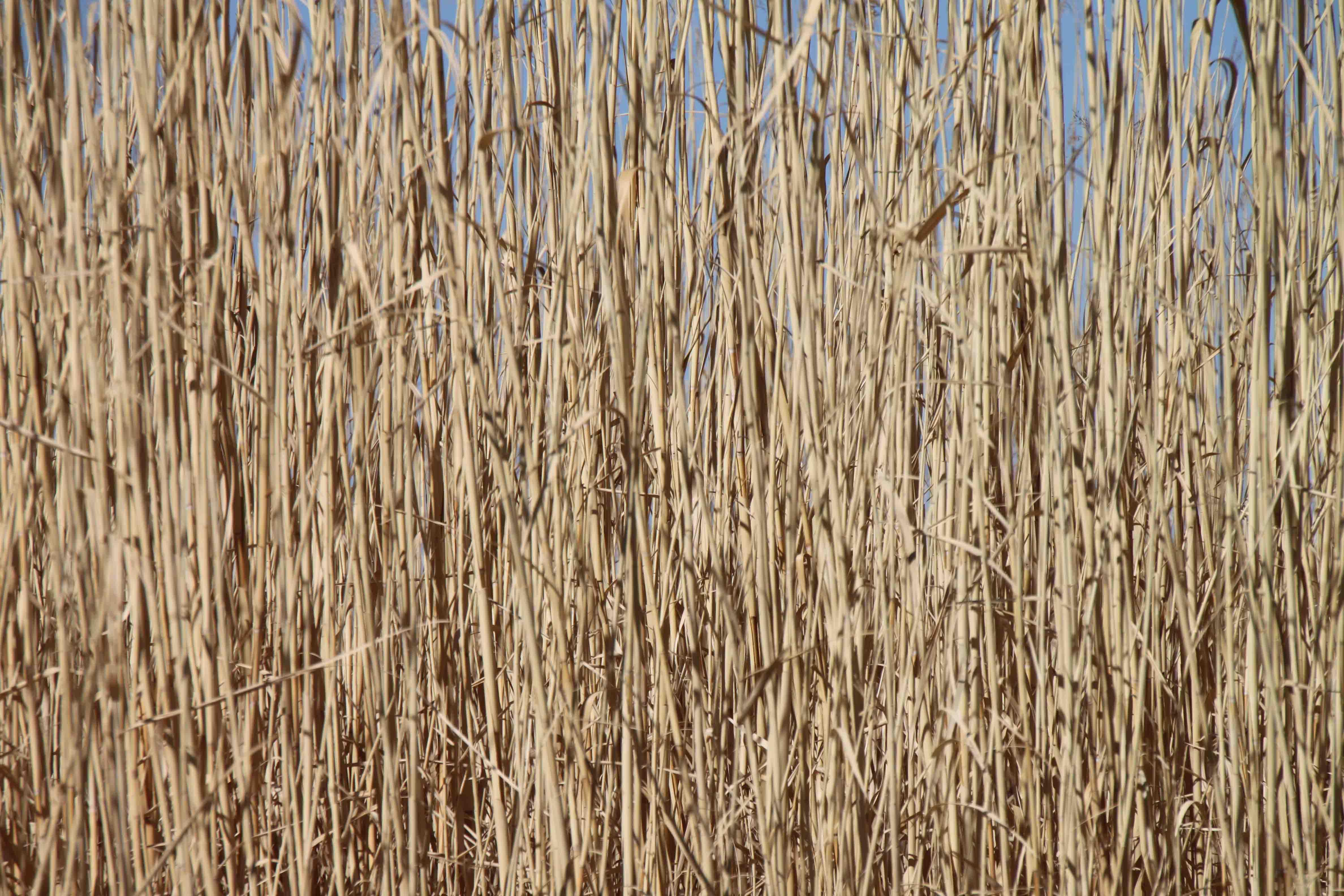 wheat grass at balmorhea state park