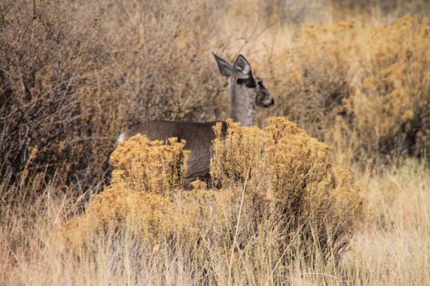 deer in big bend national park