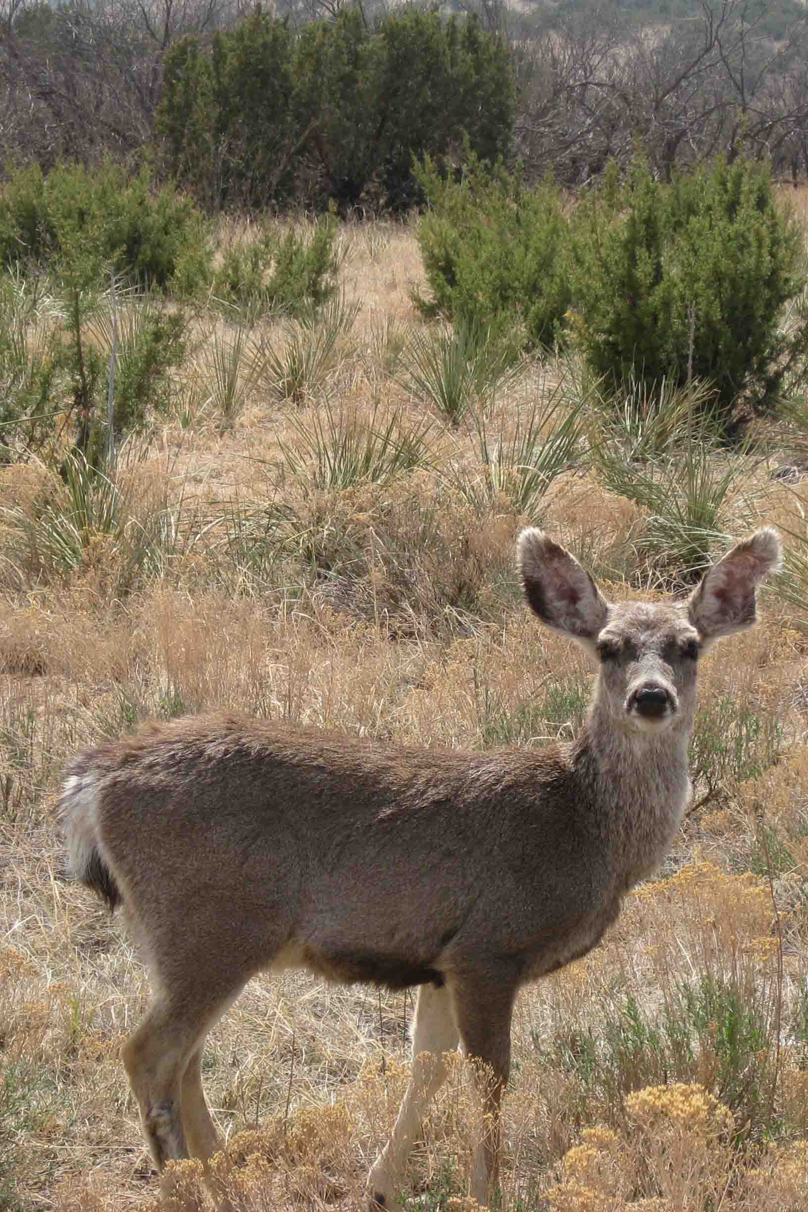 deer at palo duro canyon state park