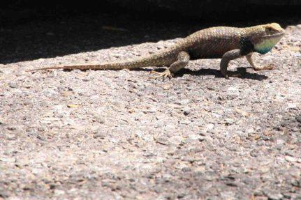 IMG_2746 lizard