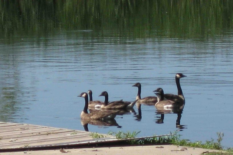 geese in chippewa national forest
