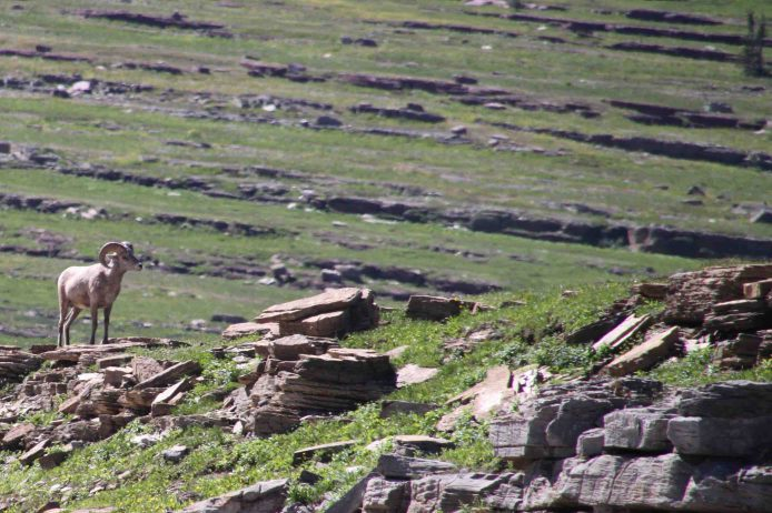 big horn sheep on the going to the sun road