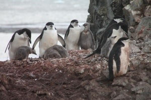 baby chinstrap penguin