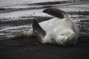 Whalers bay, deception island, Antarctica, leopard seal