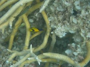 Bi-color Angelfish