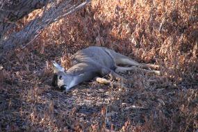 IMG_2550 doe sleeping