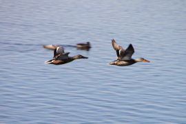 IMG_2661 ducks flying