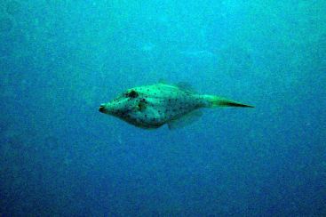 filefish (very photoshopped - far away and bad visibility, but cool fish!)