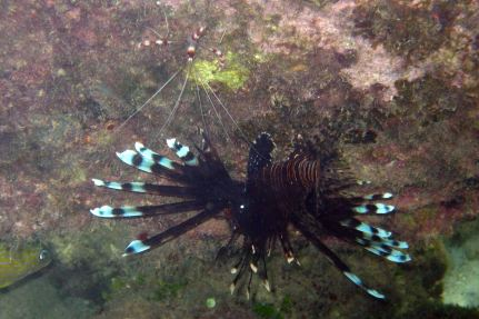 shrimp and lionfish