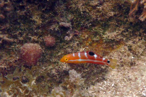 juvenile pudenwife